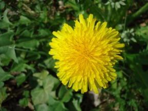 yep a dandy lion