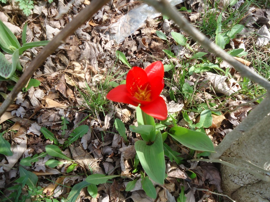 red tulip3
