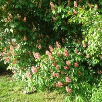 Pop's tree (Ohio Buckeye)