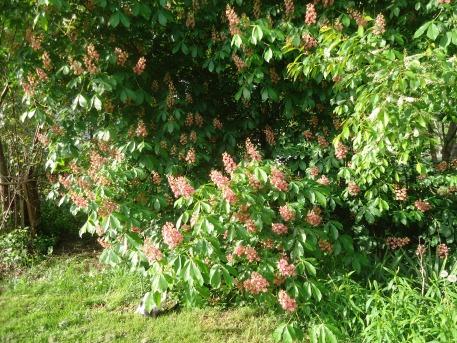 Pop's tree (Ohio Buckeye)