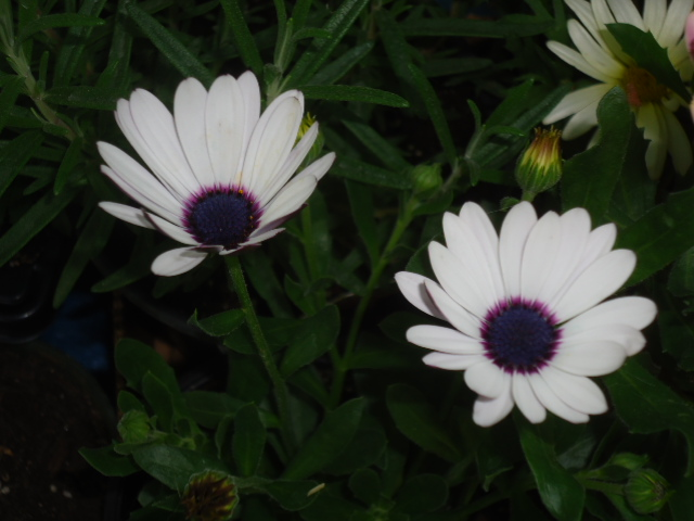 blue centered daisy