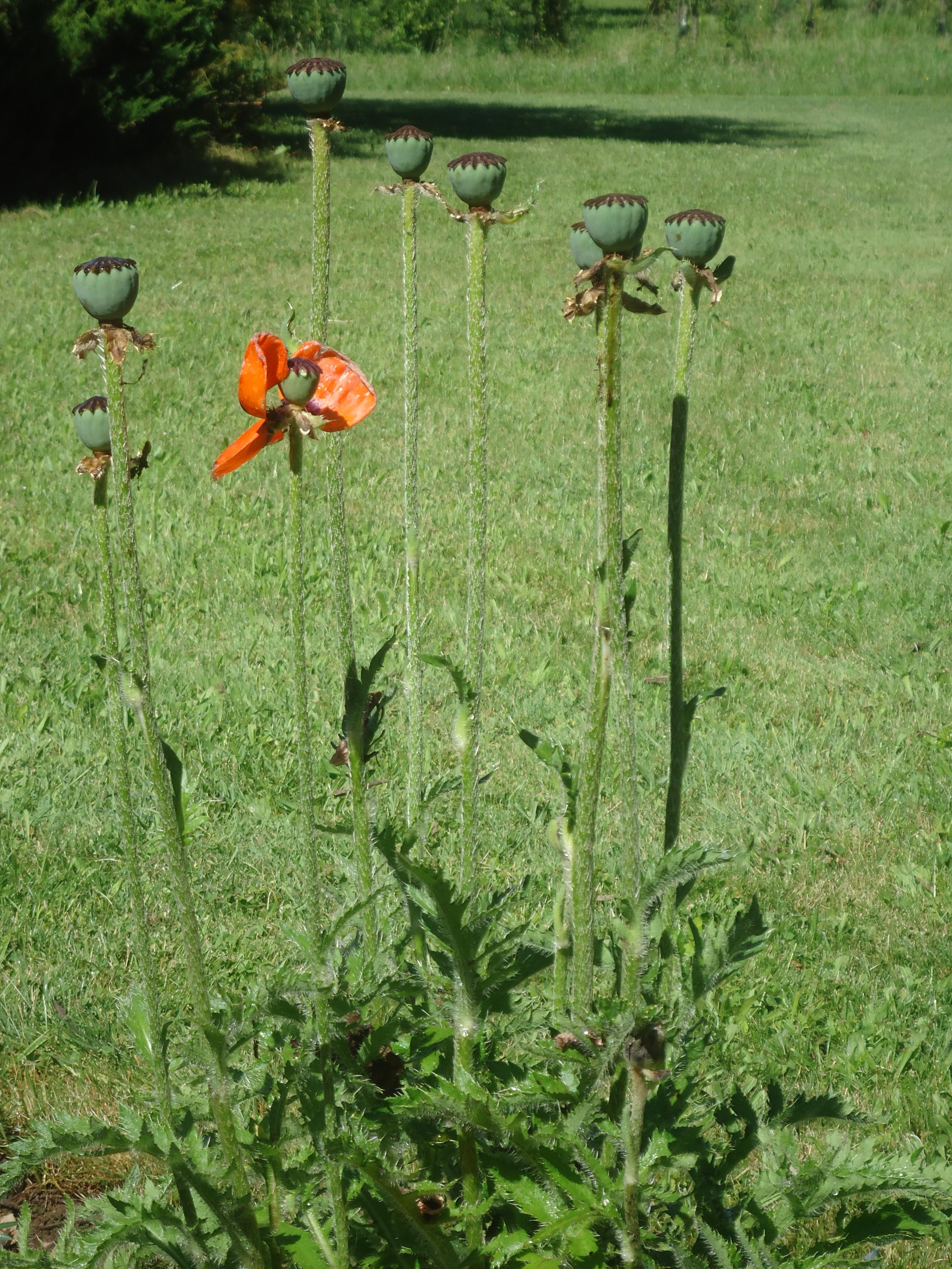 poppy seed pods good