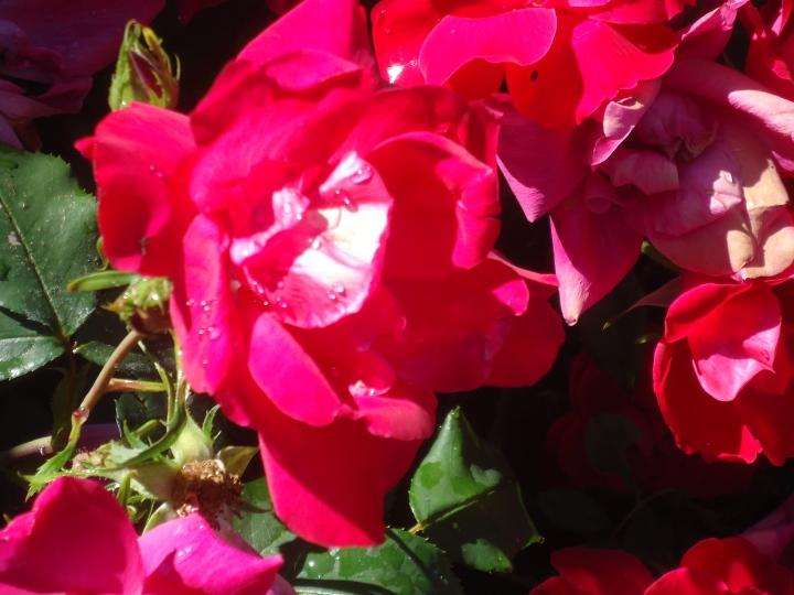 knockout roses close good