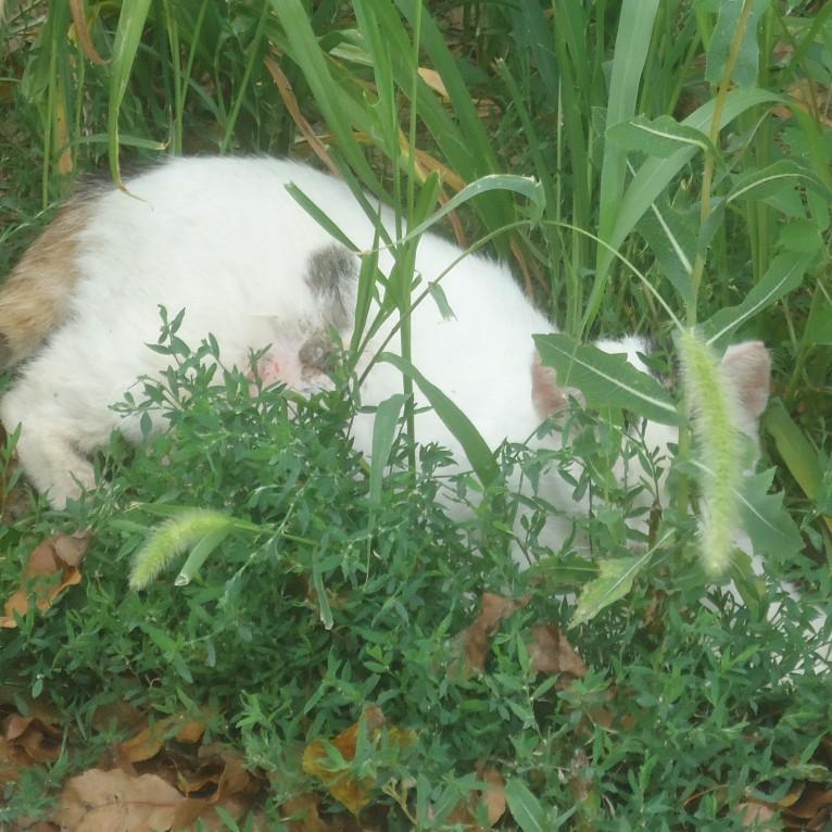 Spy Cat (Foxtail)