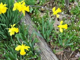 beauties daffodils and log