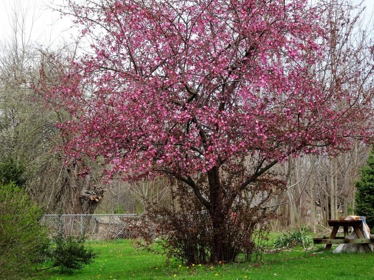 cherry tree far shot good