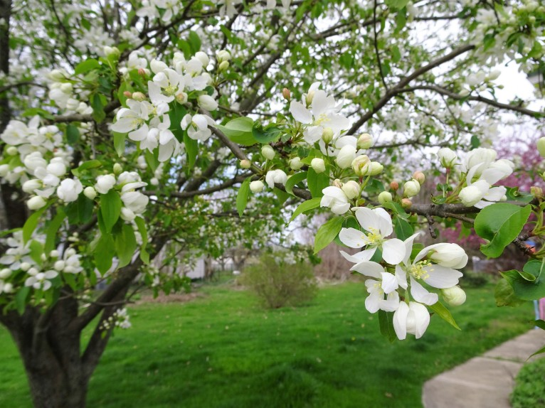 ornamental apple