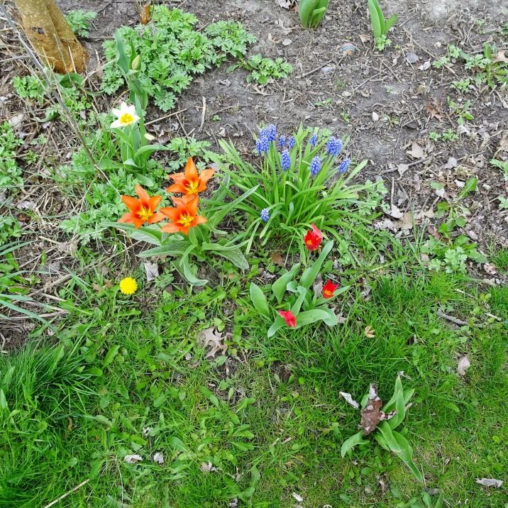 little tulip garden