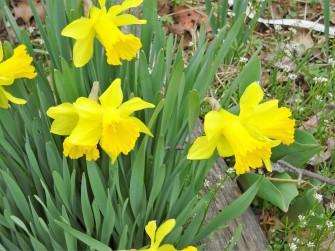 daffodils april 1PG