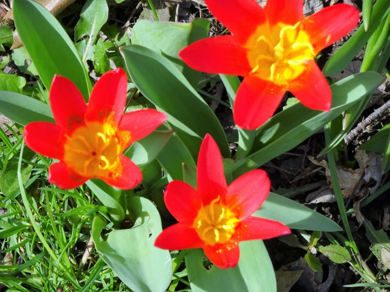 My entry for Cee's Flower of the Week: Tulips. Tiny Tulips, photo from very early last Spring when these Parrot Tulips and a few other little flowers bloomed in my Littles Bed. ©Sometimes, 2017