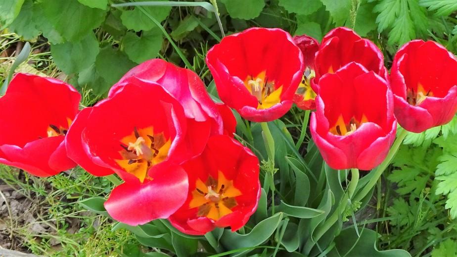 tulips close