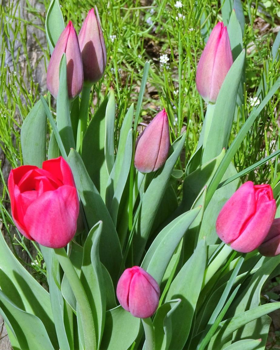 tulips red (1).JPG