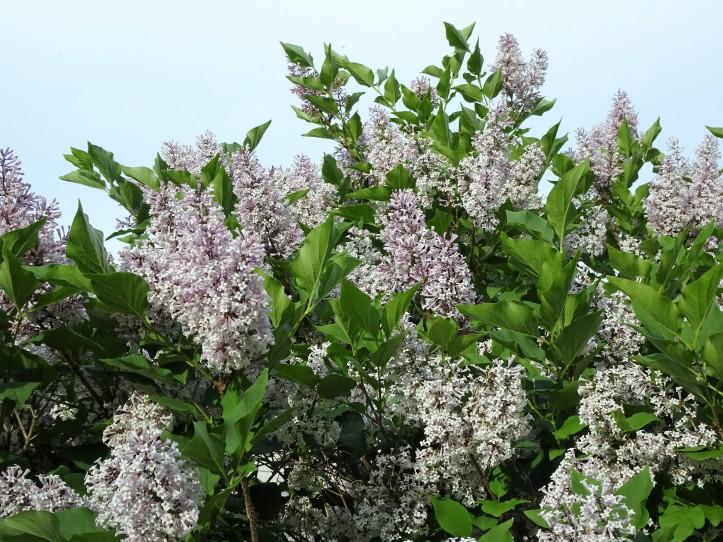close lilac sky shot
