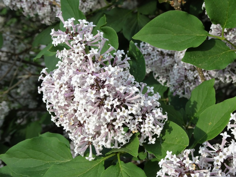 Lil' Kim Lilacs…having a great year
