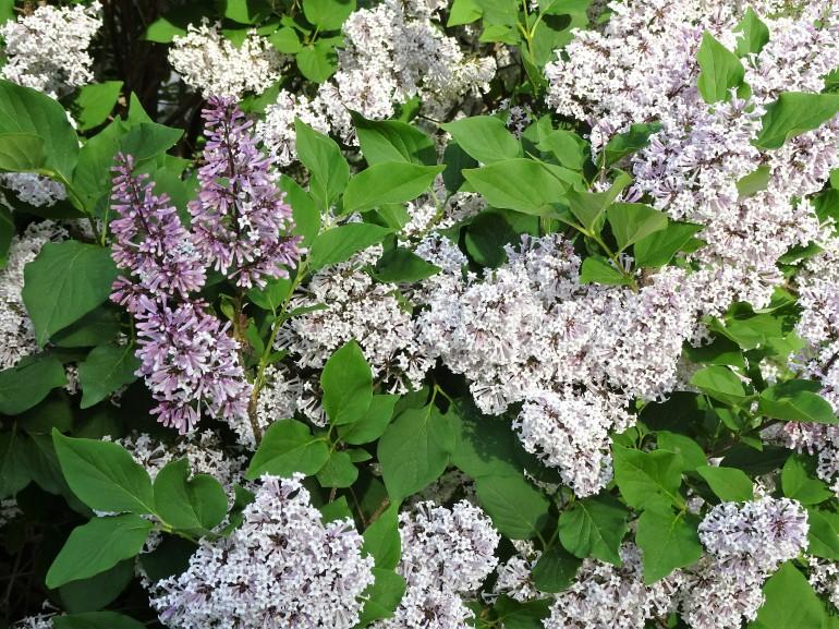 lilacs good