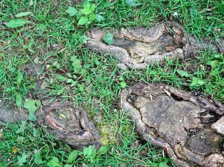 maple tree roots 2