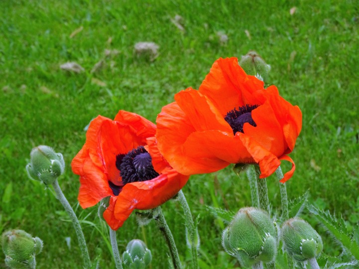 poppies two good