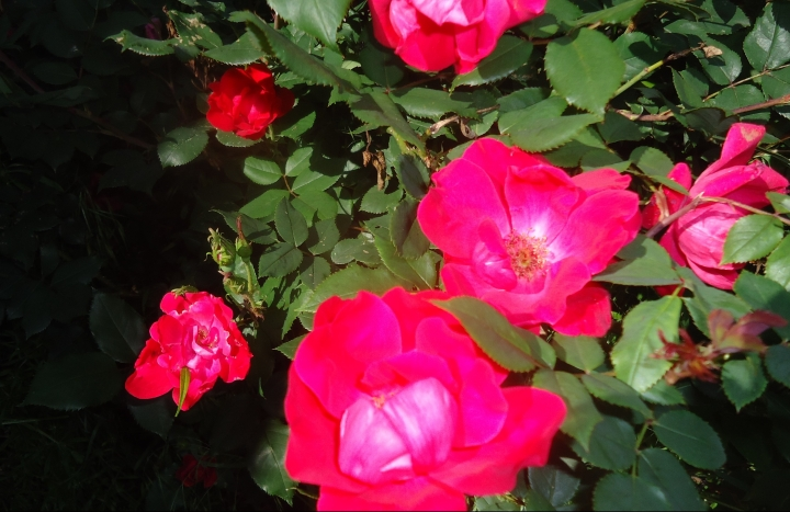 knockout roses good pic