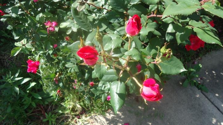 KO roses buds.JPG