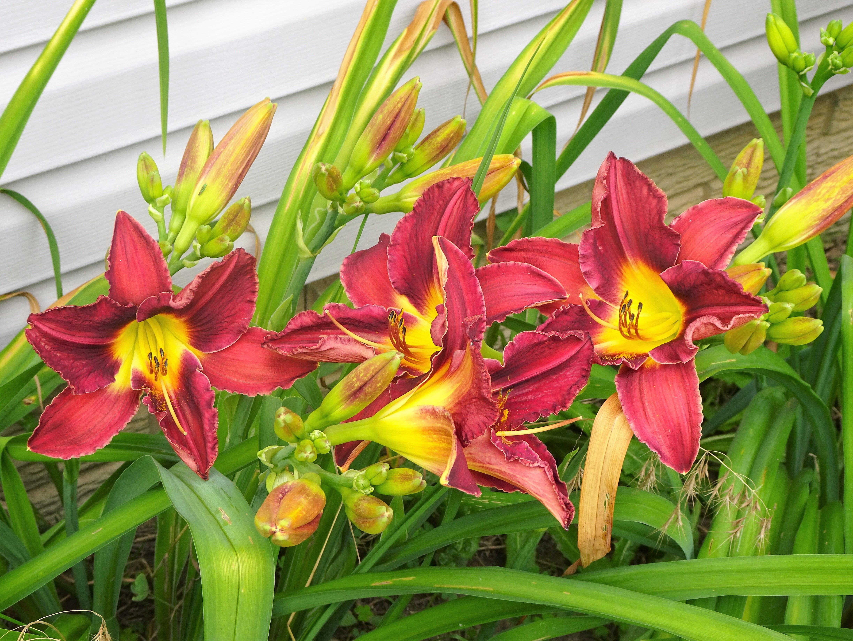 lilies6