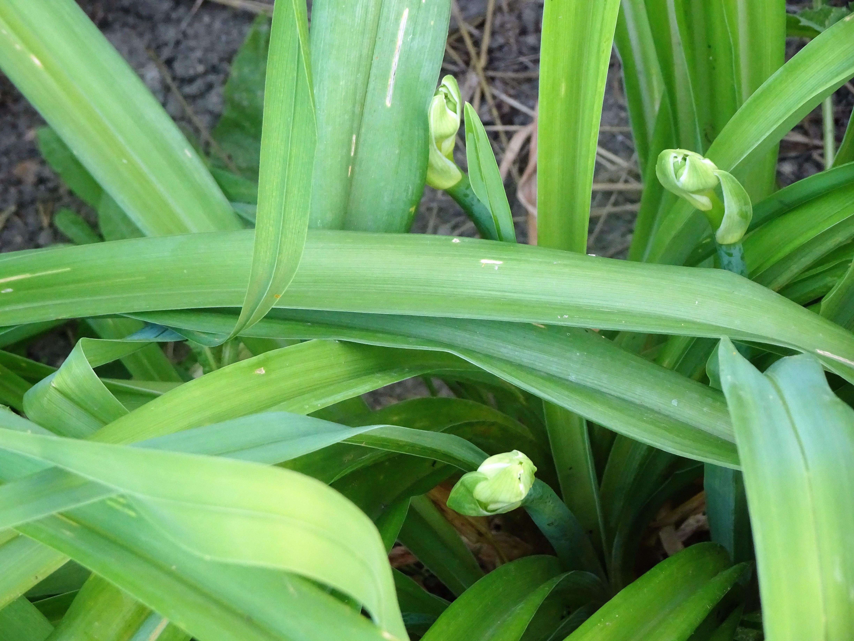 lily buds
