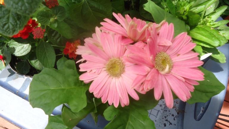 pink daisies good close.JPG