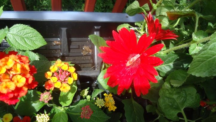red daisy.JPG