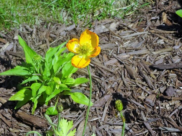 yellow poppy.JPG
