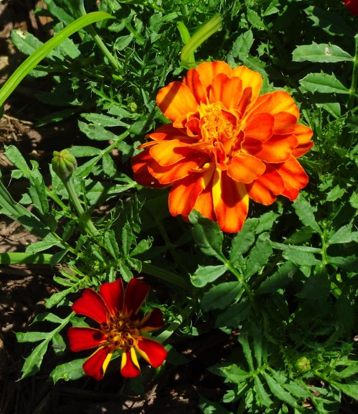 marigold bigs