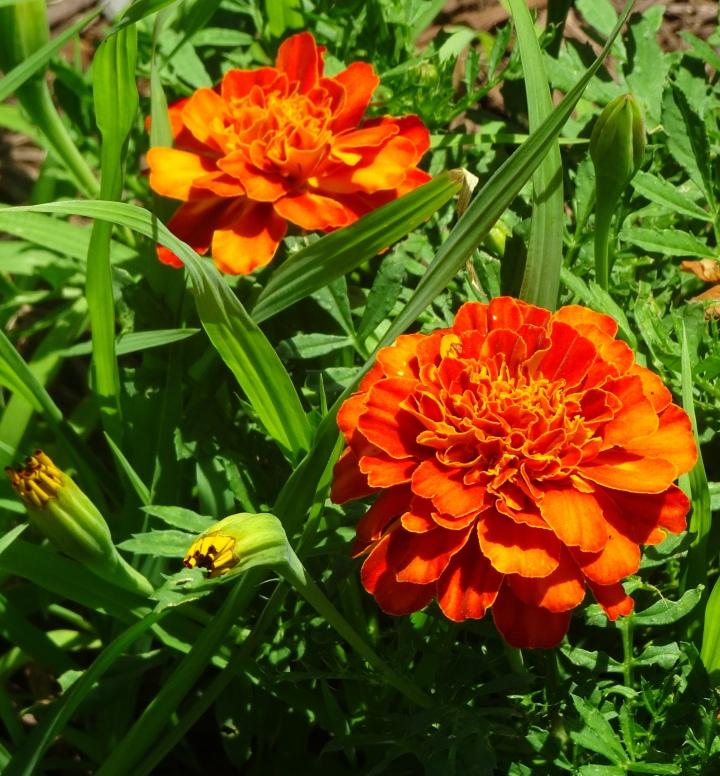 orange marig
