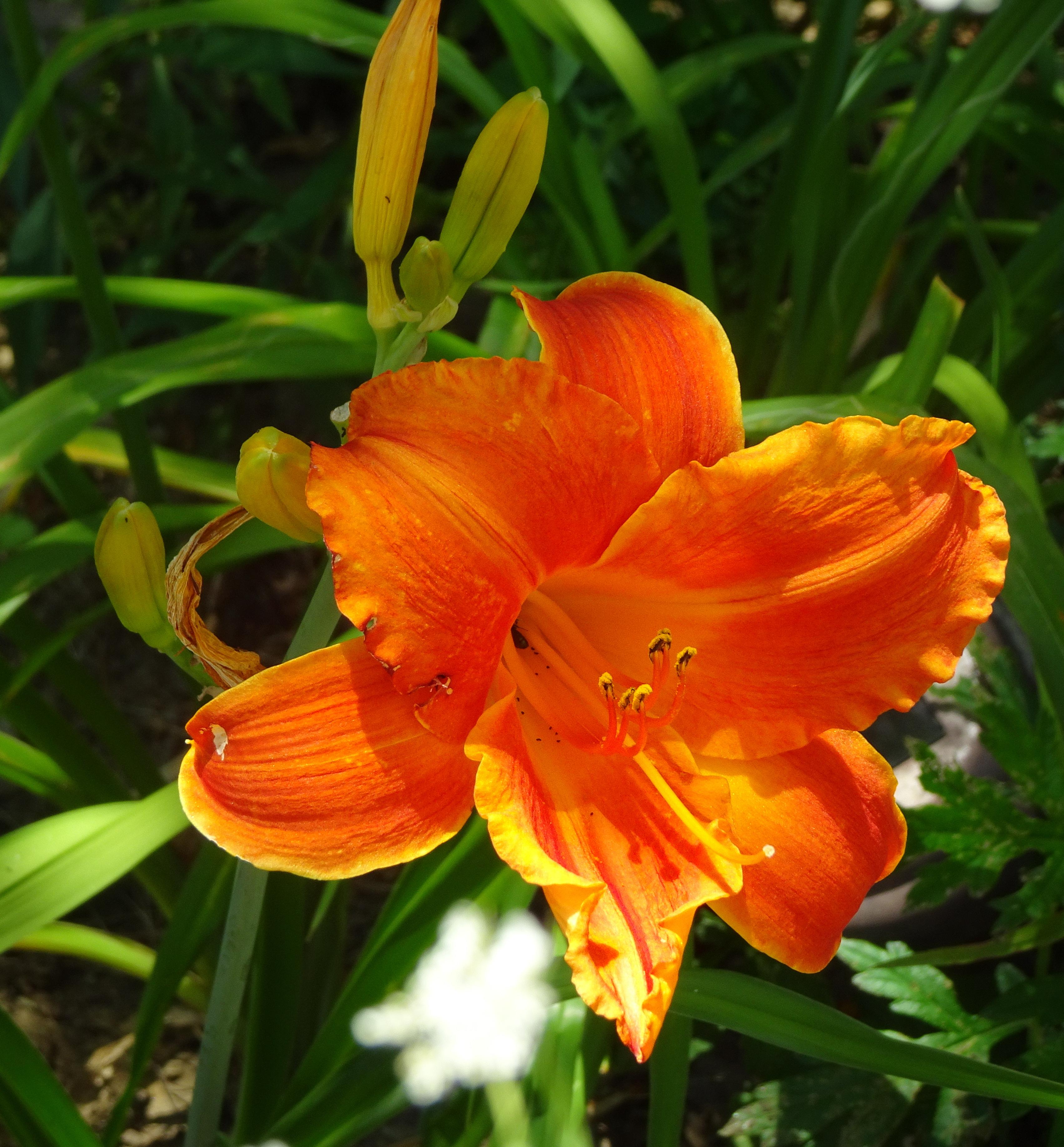 orange red very nice lily