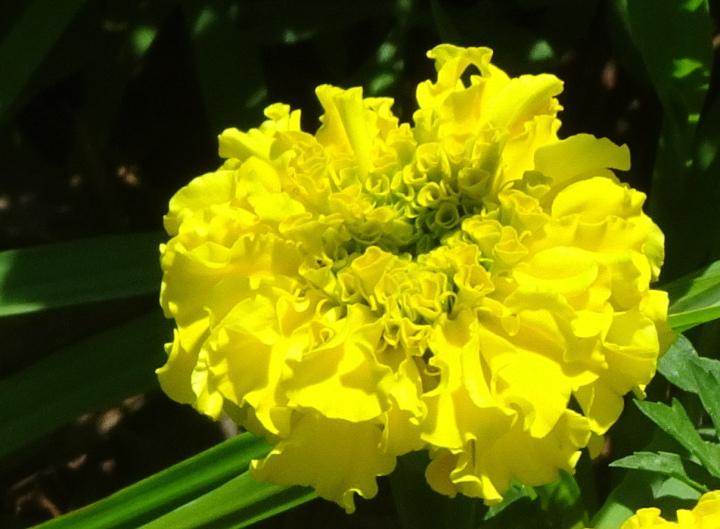 yellow marigold (close1)