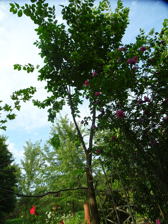 DSC00019.JPG TRIMMED NUT TREE