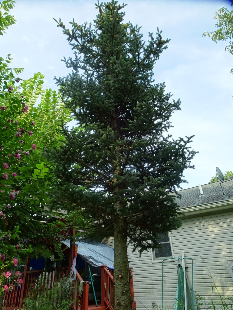 DSC00023.JPG TRIMMED SPRUCE TREE