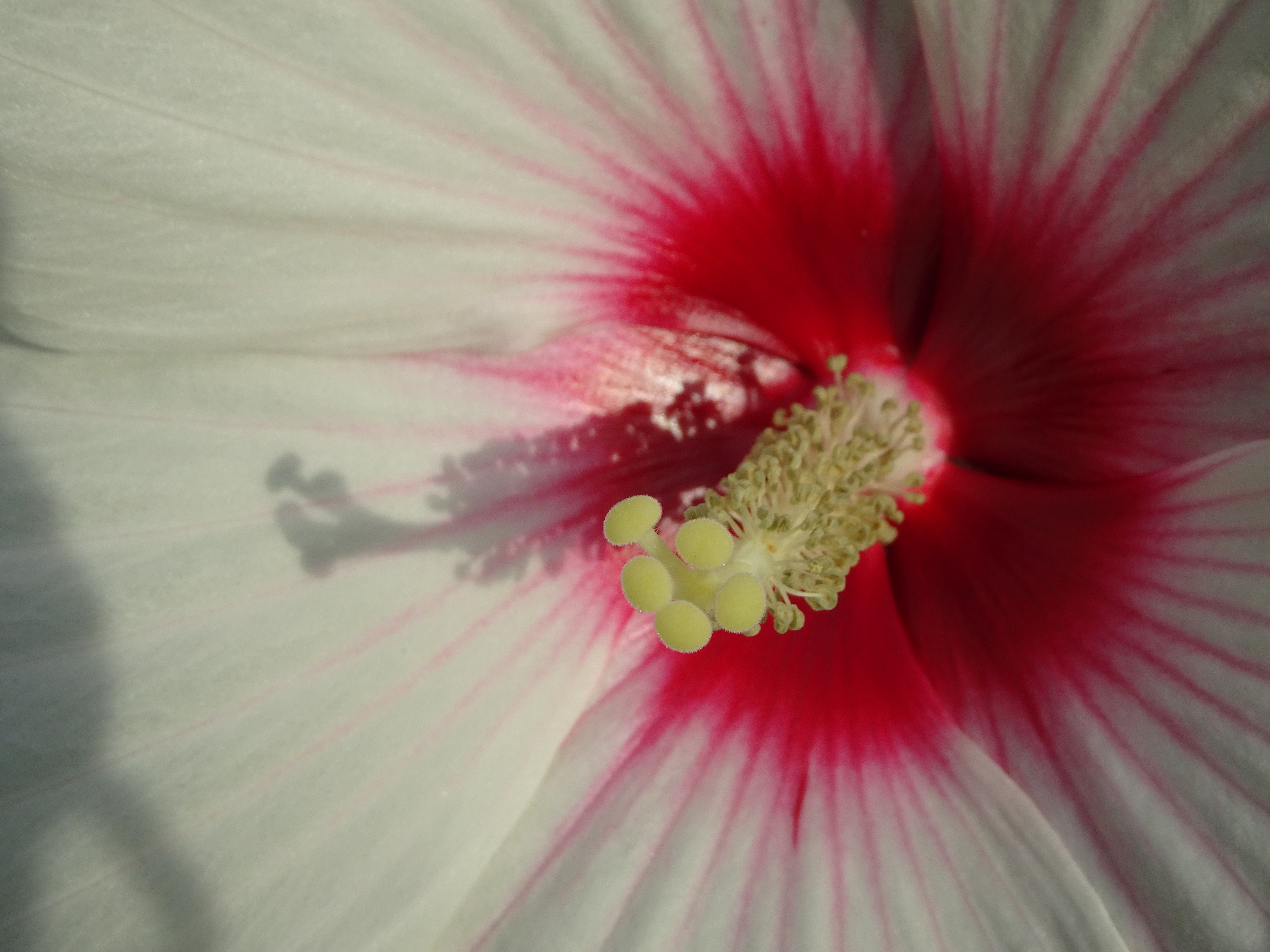 VERY CLOSE WHITE HIBISCUS
