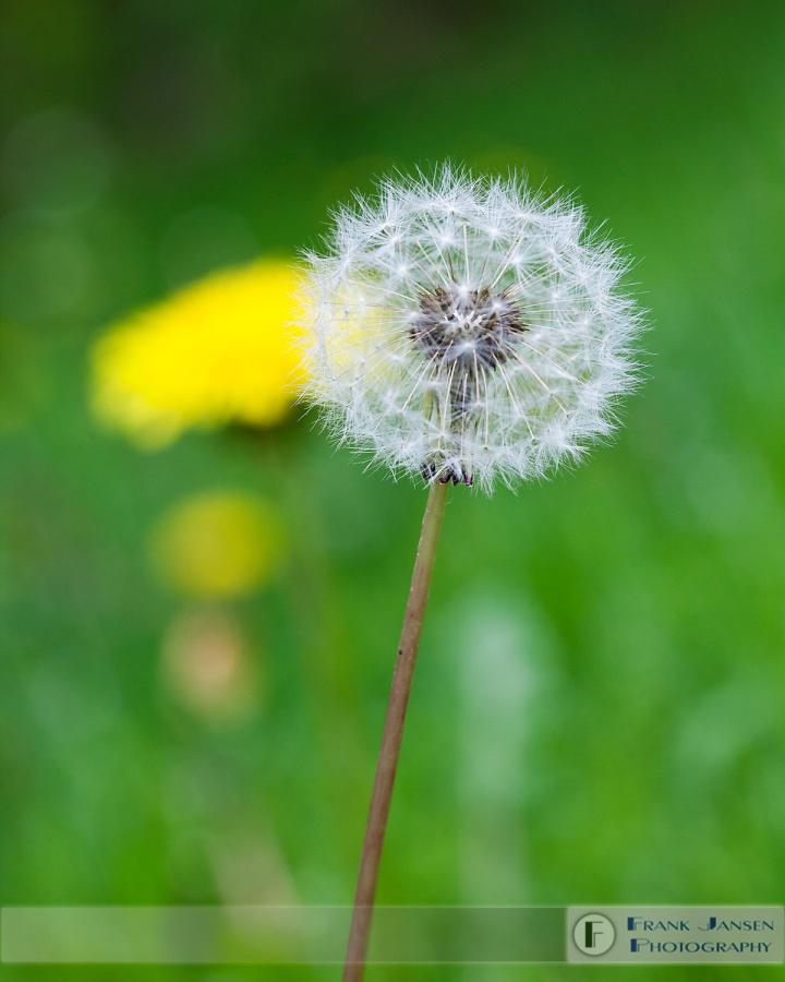 Dandelions_MG_5244