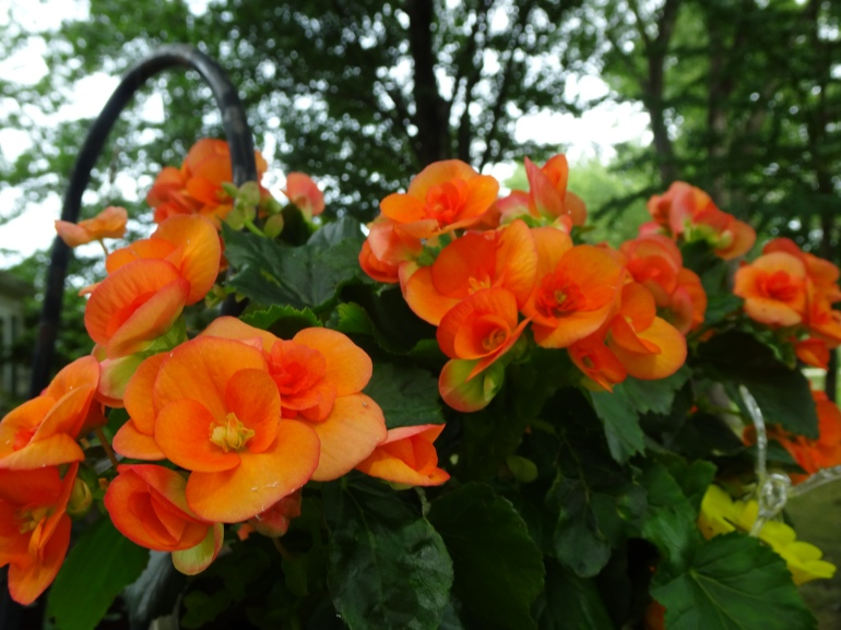 DSC00317.JPG ORANGE BEGONIA CLOSE USE
