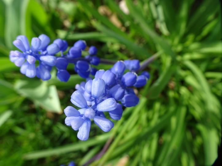DSC01537.JPG grape hyacinth close good