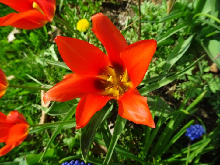 DSC01538.JPG red parrot tulip