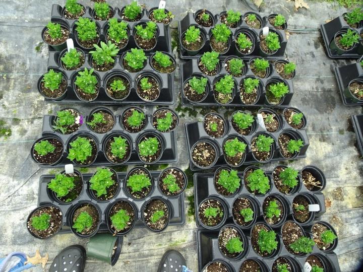 DSC01817.JPG flats of little plants