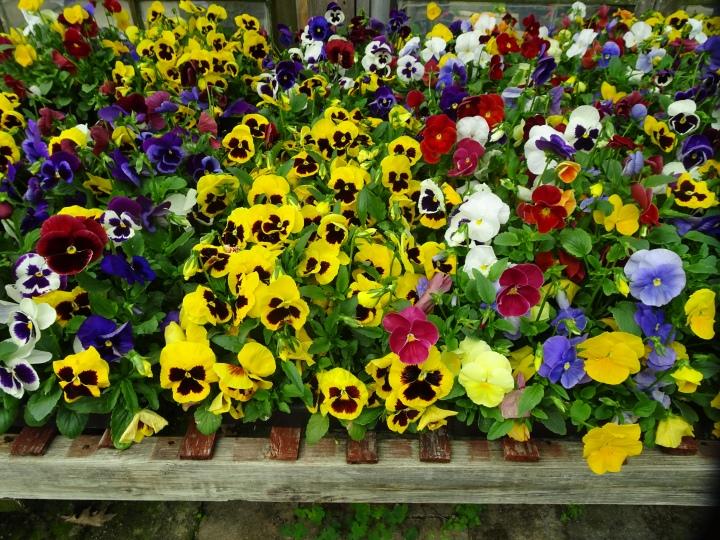 DSC01822.JPG lots of petunias