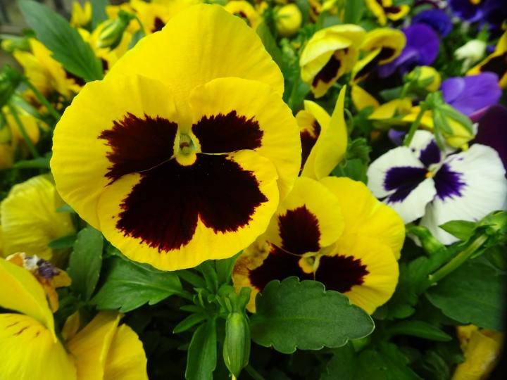 DSC01824.JPG yellow petunia up close