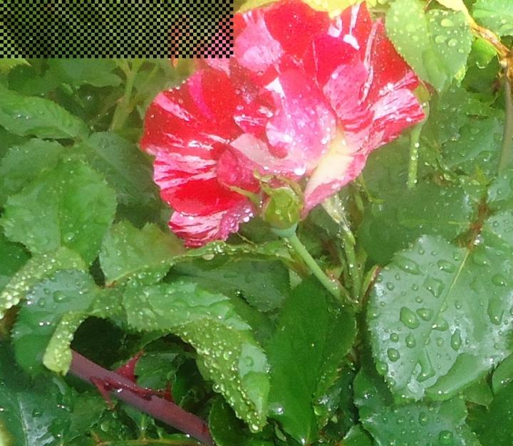 red n white rose in rain.JPG cropped (2) good
