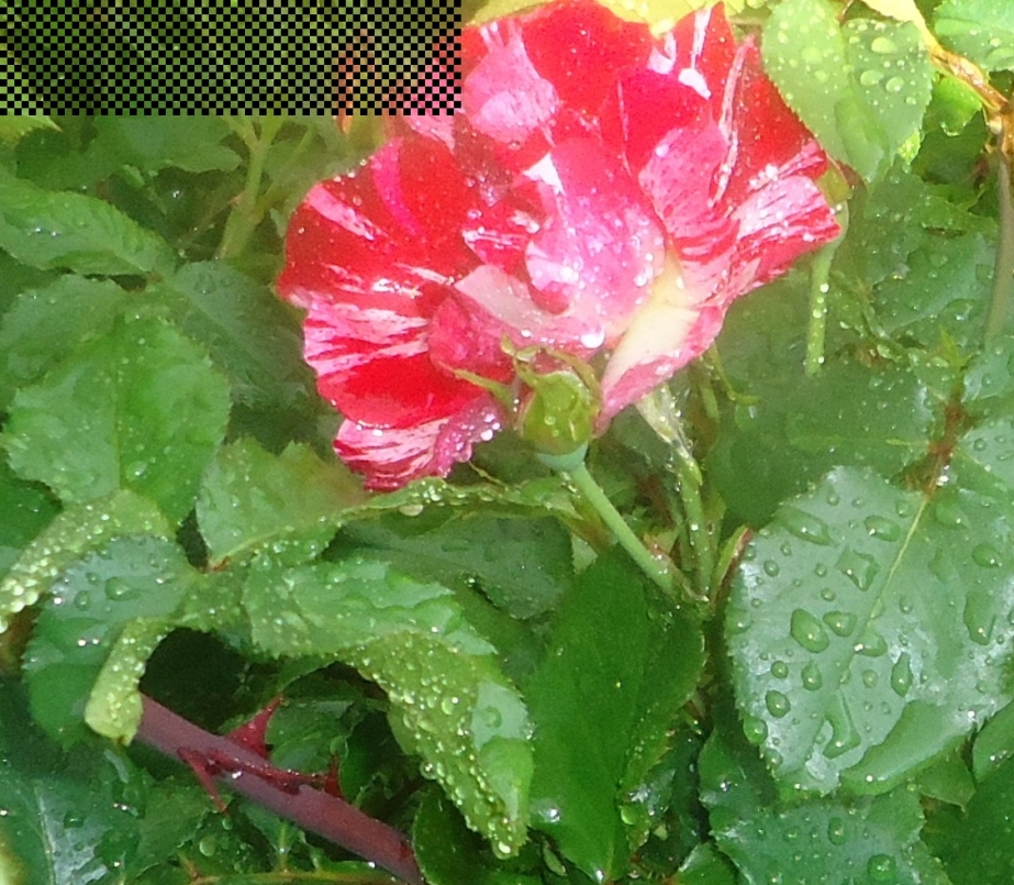red n white rose in rain.JPG cropped (2) good