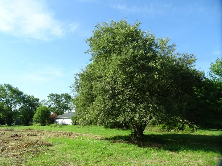 DSC02343.JPG THE LAST APPLE TREE N MY HOUSE