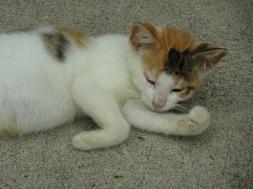 Little Sister kitten: Callie