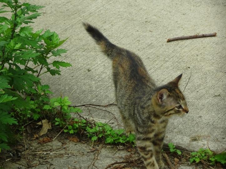 DSC02562.JPG little grey kitten