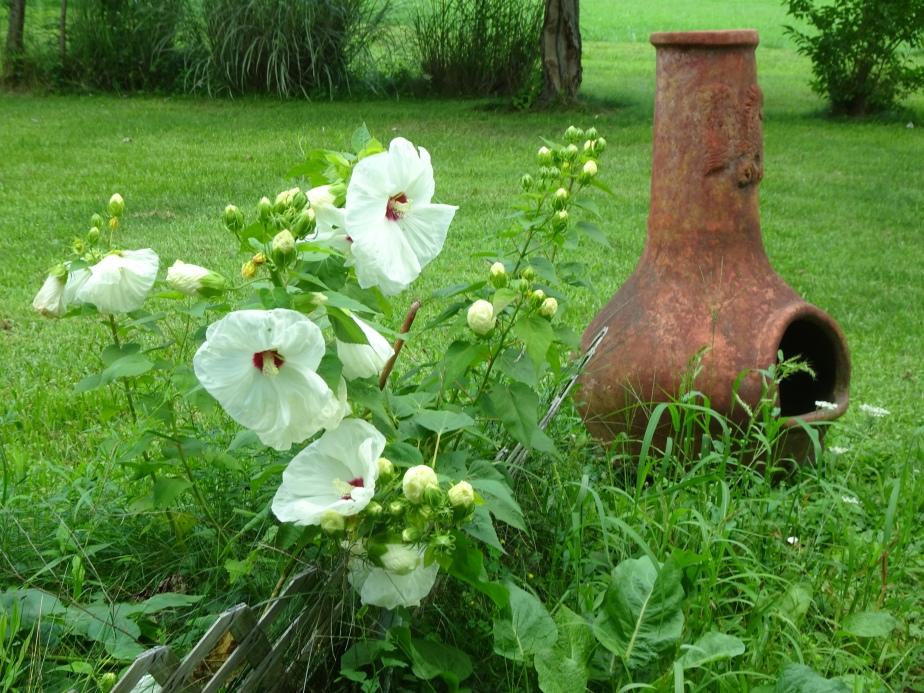 DSC02729.JPG white hibiscus n chimenera good shot