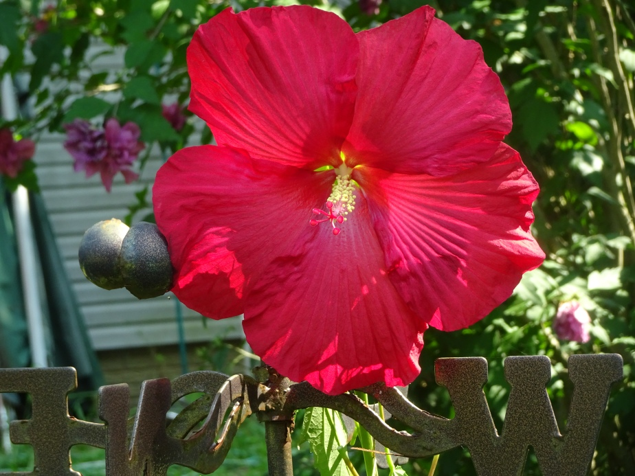 DSC02897.JPG red hibiscus good pattern