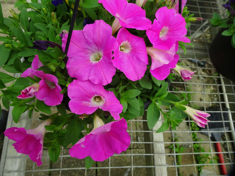 DSC01821.JPG rose pink petunias